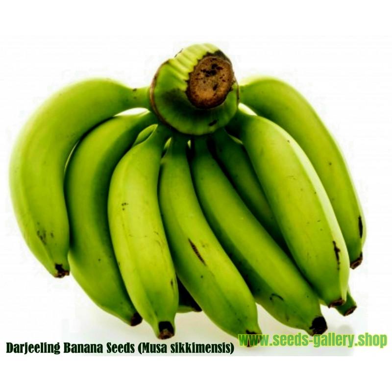 Seme Banane Darjeeling (Musa sikkimensis)