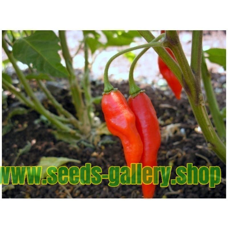 Hot Chili Peppar Frön Chilipeppar Habanero Maya Röd