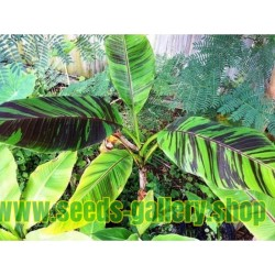 Darjeeling-Banane Samen RED TIGER