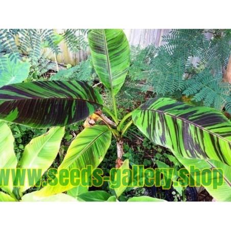 Semillas de Banana RED TIGER