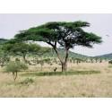 Gelbe Himbeere Samen ''Rarität'' Stachellos