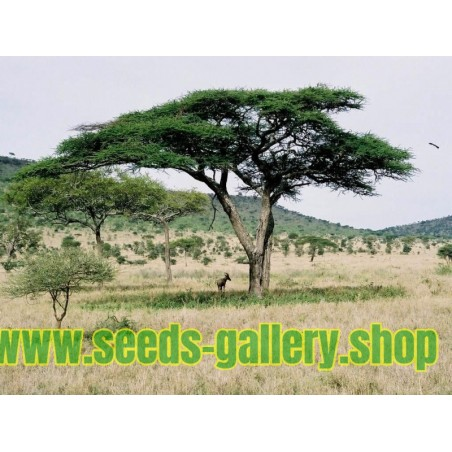 Sementes de guarda-chuva espinho Acacia tortilis