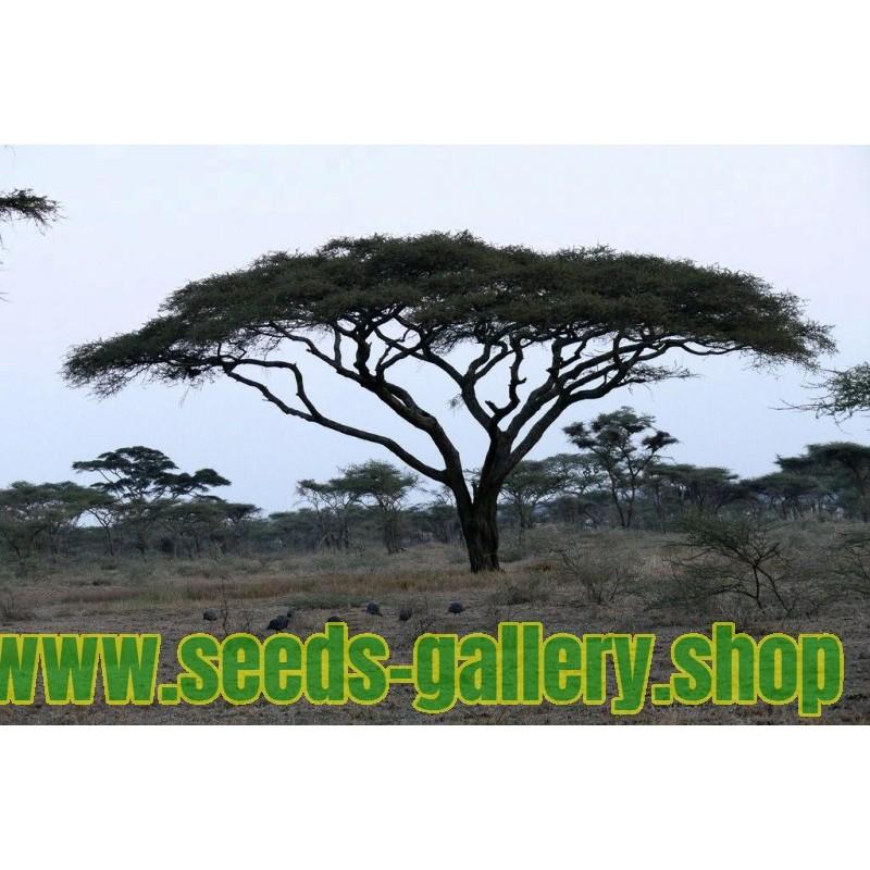 Σπόροι Δέντρα μπονσάι Ακακία στρεπτή