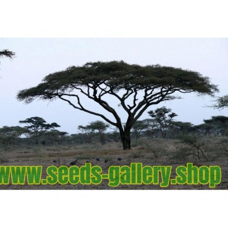 Kisobran Acacia Seme - Bonsai