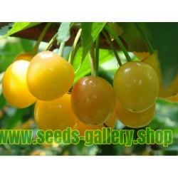 Semi di Ciliegio giallo 'Moscatella Gialla'