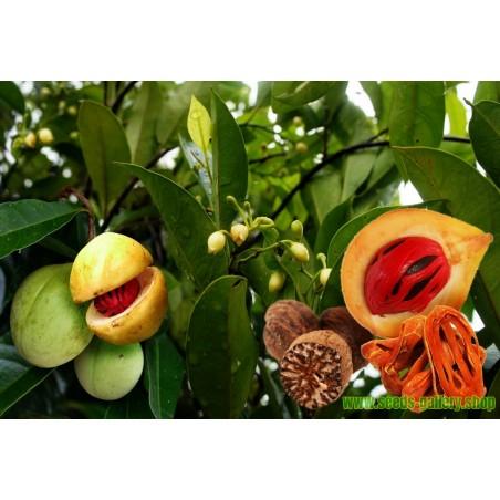 Muskatnussbaum Muskatnuss Samen