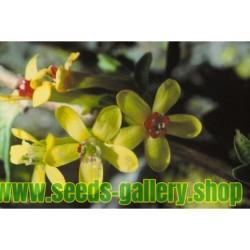 Gold-Johannisbeere Samen (Ribes aureum)