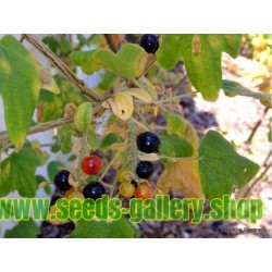 Golden Currant Seeds (Ribes Aureum)