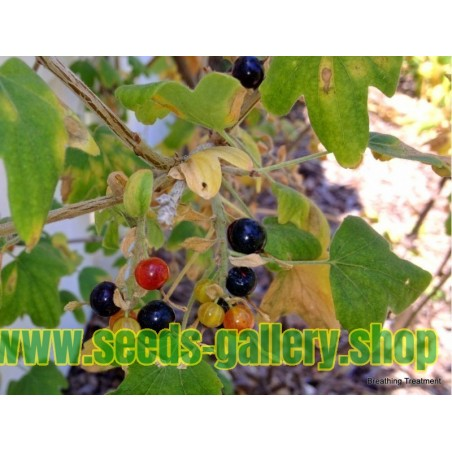 Golden Currant Seeds (Ribes Aureum)