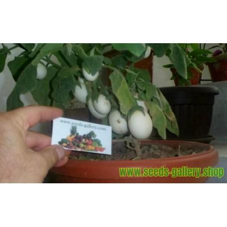 Eierbaum Samen (Solanum melongena)