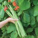 Giant White LIMA Bean Seeds