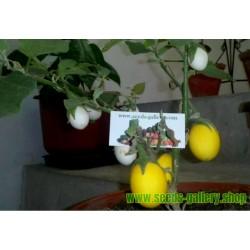 Semillas de Planta De Huevo (Solanum Molengina)