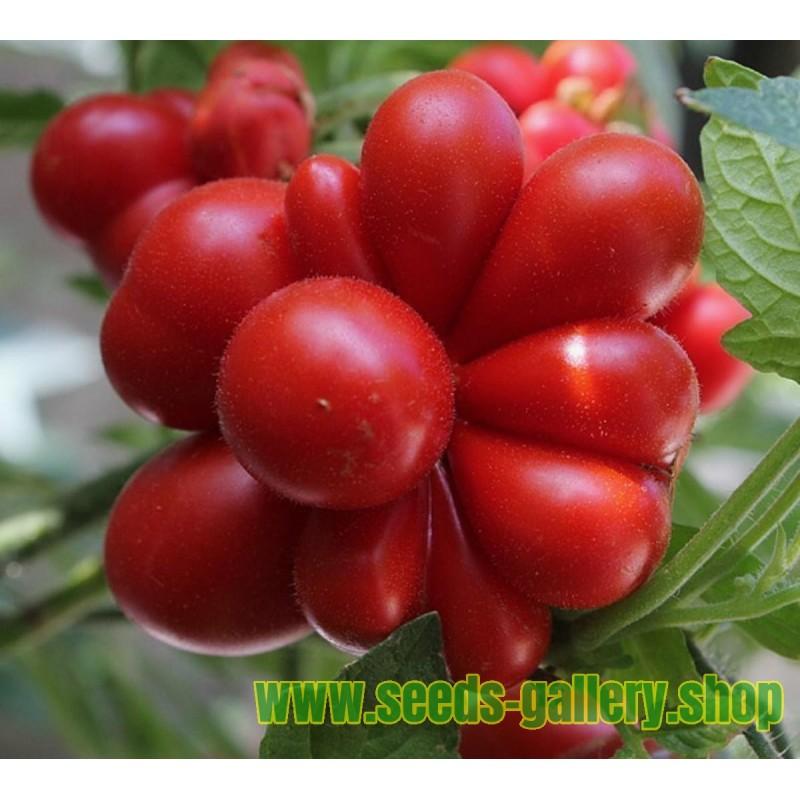 Reisetomate Tomatensamen aus Guatemala