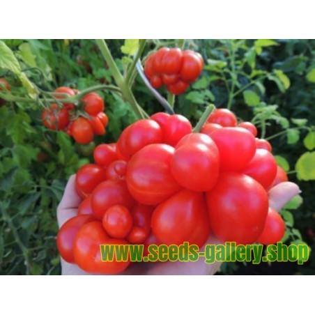 Voyage Paradajz Seme - paradajz putnika