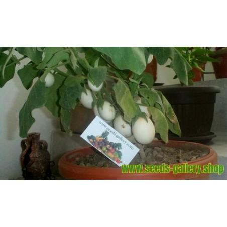 Jaje Drvo Seme (Solanum melongena)