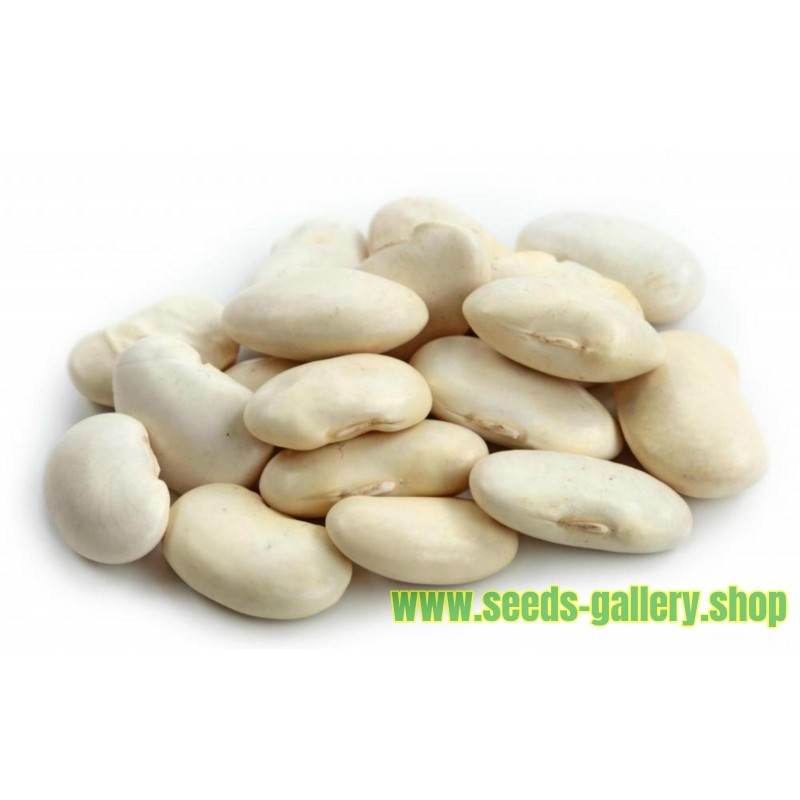 Giant White LIMA Bean Seeds