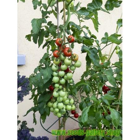 Rödmalva Frön (Malva sylvestris)