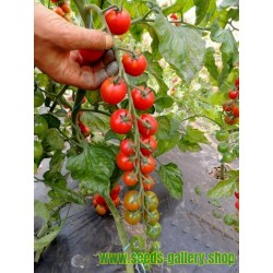 Sementes de tomate ANABELLE
