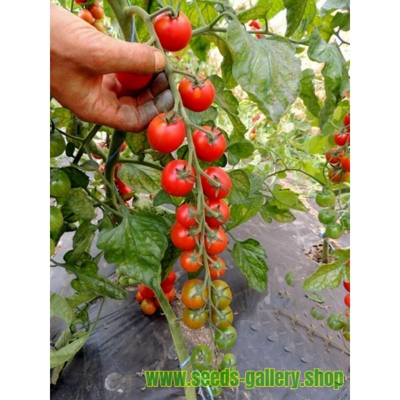 Graines De Tomates ANABELLE