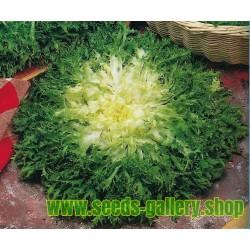 Sementes de Endívia Gigante (Salada)