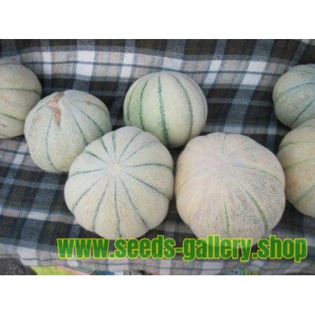TALIBI Persian Melon Fresh Seeds