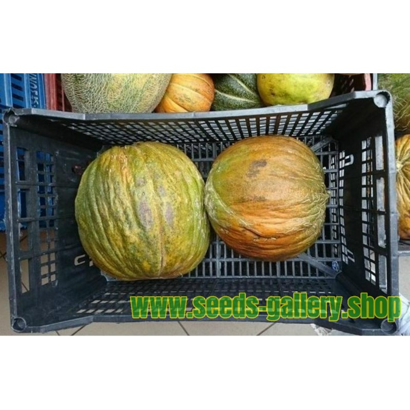 Casaba Turkish melon seeds