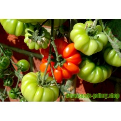 Sementes de tomate beefsteak COSTOLUTO FIORENTINO