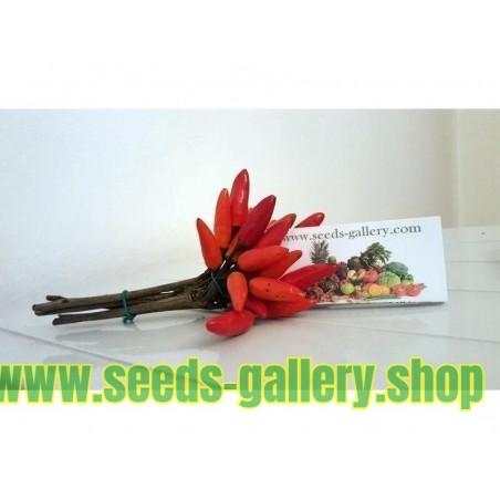 Muskot Frön (Myristica fragrans)