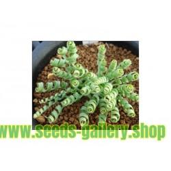 SPIRALNA TRAVA Seme (Moraea tortilis)