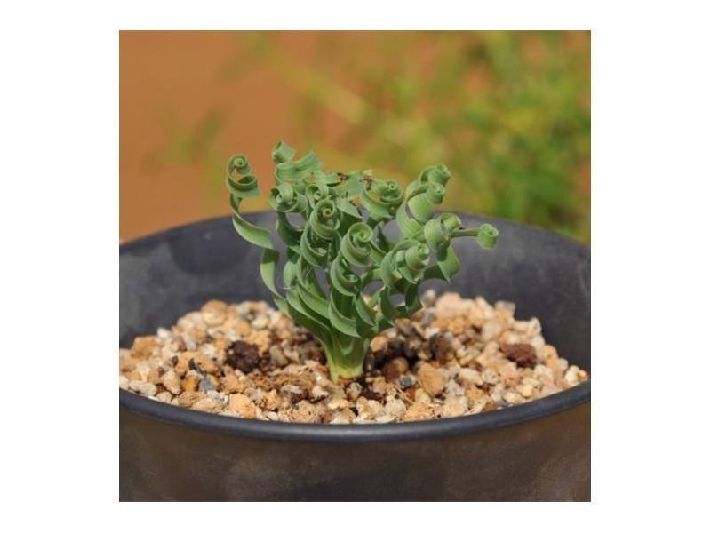 C mo siembra y cultivos pimientos tomate instrucciones for Semillas de cactus chile