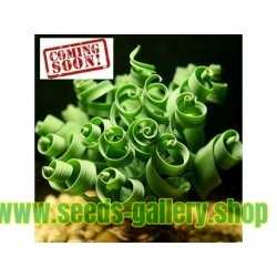 Sementes de GRAMA EM ESPIRAL (Moraea tortilis)