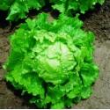 Lettuce Seeds BATAVIA BIONDA DI PARIGI