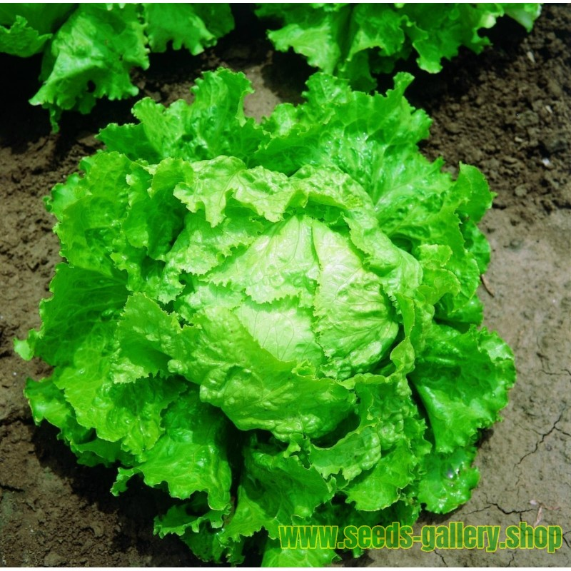 Seme Belog Krompira KENNEBEC