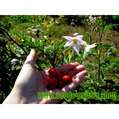 Borlotto Lingua Di Fuoco Nano Bean Seeds (Bush)