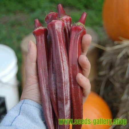 Rote Okra Samen (Abelmoschus esculentus)