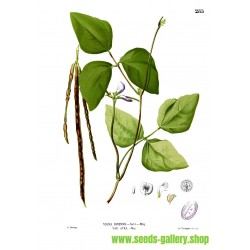 ÖGONBÖNA Frön (Vigna unguiculata)