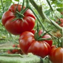 Graines Tomate ancienne OLD GERMAN