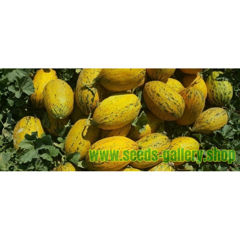 Witch Finger Grape Seeds