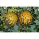 PURPLE CAYENNE Chili Seme