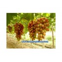 MAIDENHAIR TREE Seeds (Ginkgo biloba)