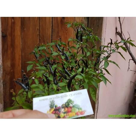 Hot Chilli Pepper PURPLE CAYENNE Seeds