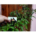 Seme Jorgovana (Syringa vulgaris)