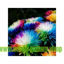 Rainbow Chrisanthemum Seeds