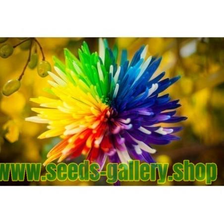 Regenbogen Chrysanthemum Samen