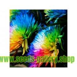 Regnbåge Chrysanthemum Frön