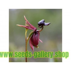 FLYING DUCK ORCHID Seeds