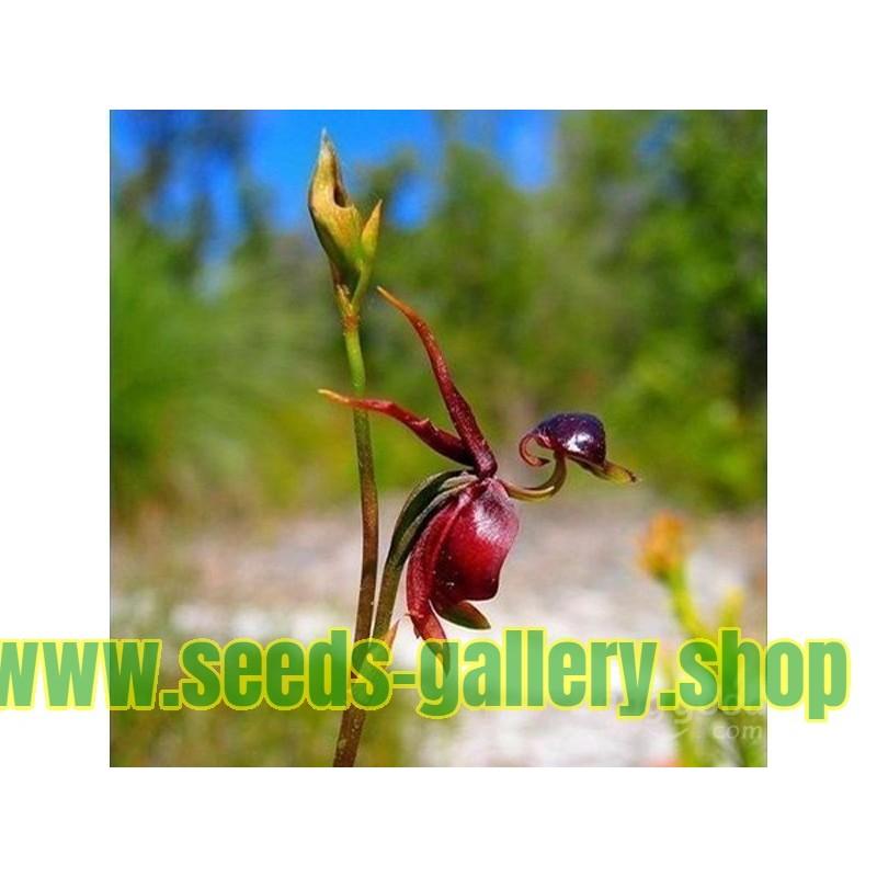 Annatto, Lipstick Tree Seeds (Bixa orellana)