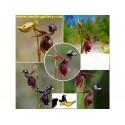 Red rubin basil Seeds (Ocimum basilicum rubrum)