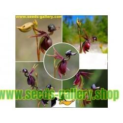 Blomfrön FLYGANDE ANKA (Caleana major)