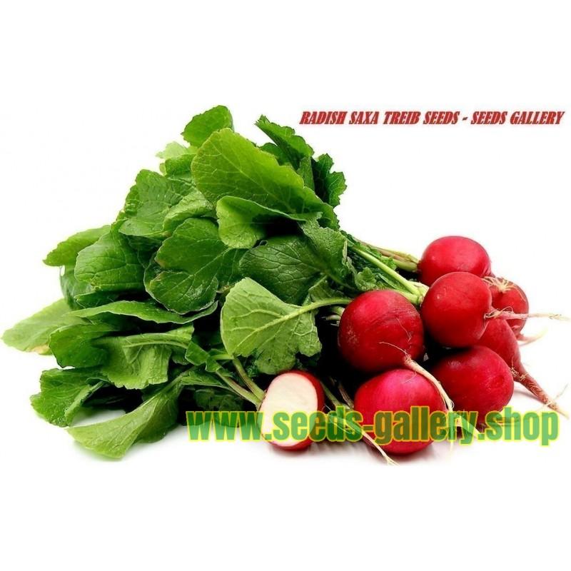 Σπόροι από ραπανάκι Saxa Treib